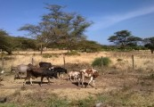 Isiolo cattle scene